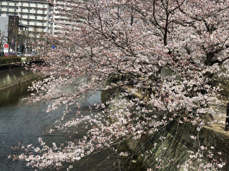 船場川の桜