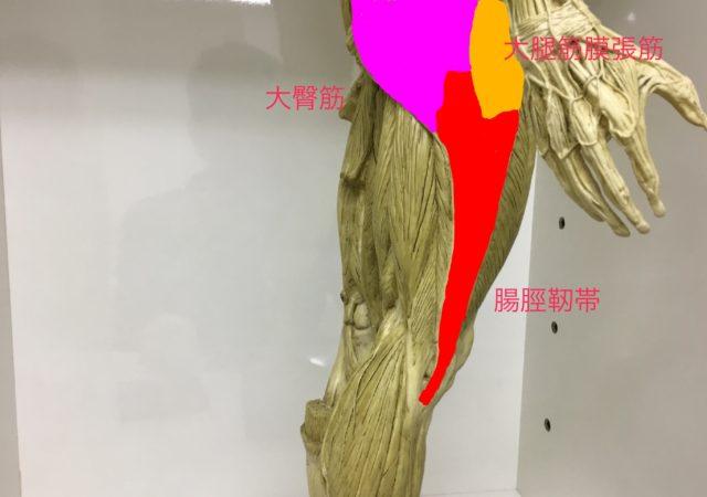 大臀筋と大腿筋膜張筋