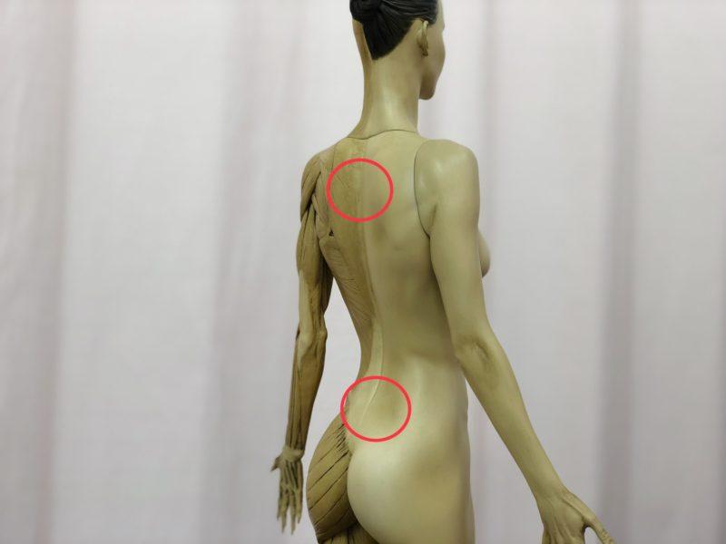 肩甲骨と仙骨